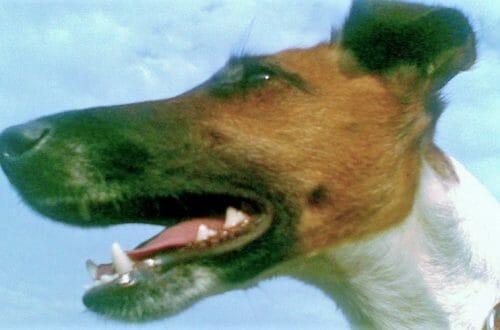 Hladkosrstý foxteriér je v mojich očiach najkrajším psím plemenom sveta